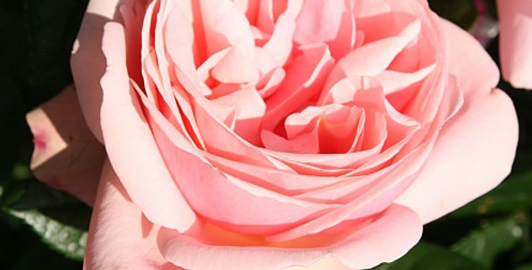 Rosa tea hybrid Aphrodite