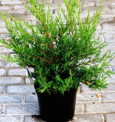 Juniperus chin Kuriwao Gold_1.JPG