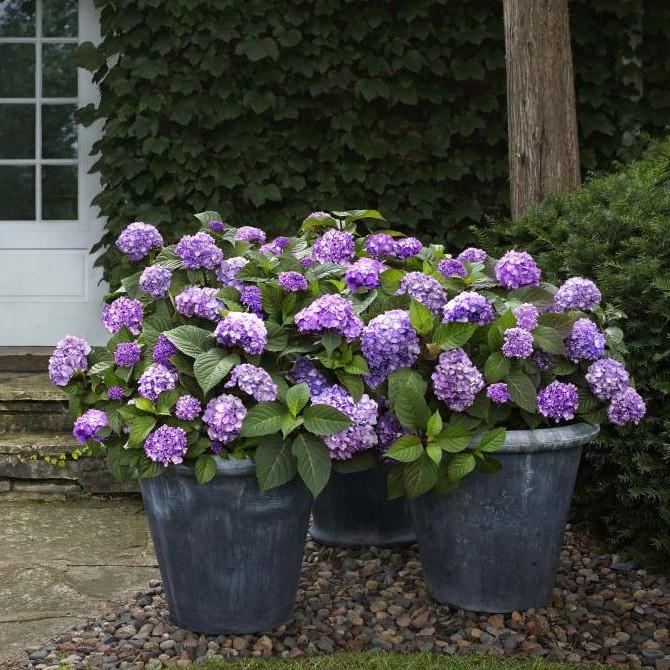 Hydrangea-macrophylla-Endless-Summer-Blo