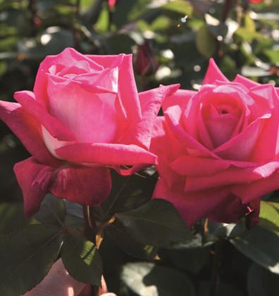 Rosa Acapella1.jpg