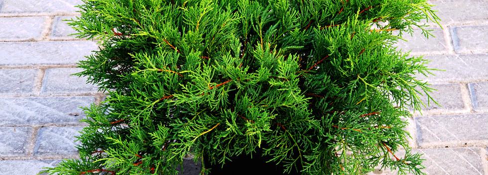 Juniperus media Old Gold_1.JPG