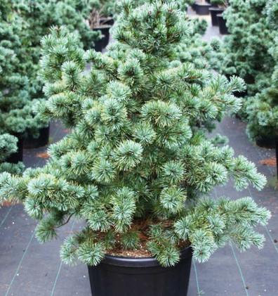 Pinus Parv Negishi_1.jpg