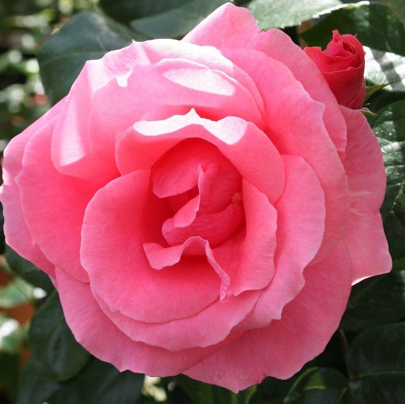 Rosa Lawinia1.jpg