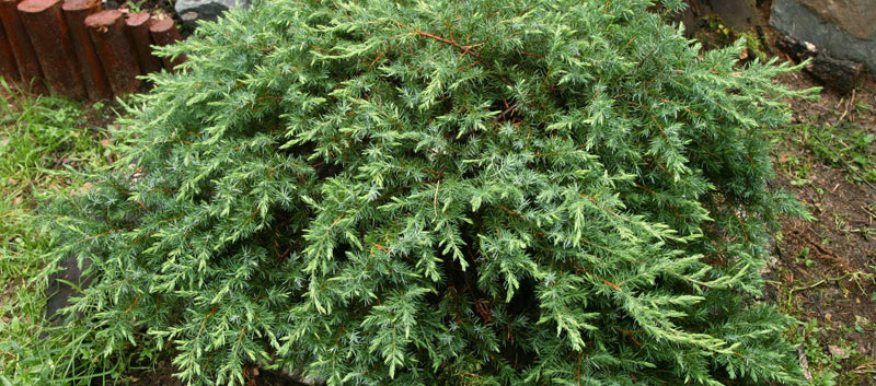 Juniperus conferta Schlager1.jpg