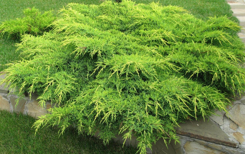 Juniperus media Pfitz. Aurea_3.jpg