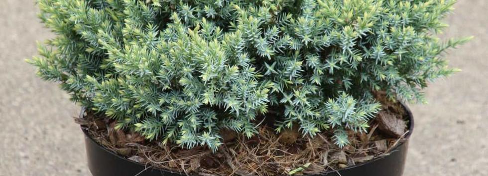 Juniperus squam Holger_1.jpg