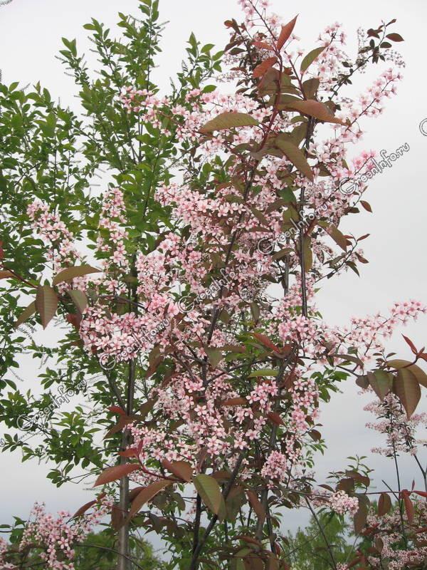 Prunus padus Colorata_1.jpg
