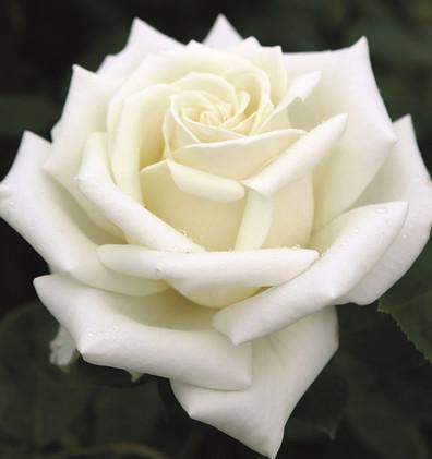 Rosa Polarstern2.jpg