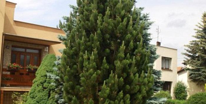 Сосна черная Пирамидалис  Pinus nigra Pyramidalis