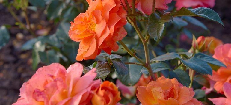Rosa Morning Sun2.jpg