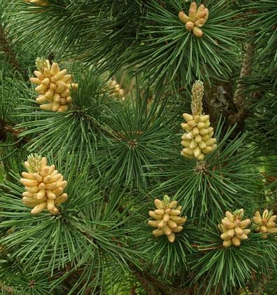 Pinus mugo Columbo_2.jpg