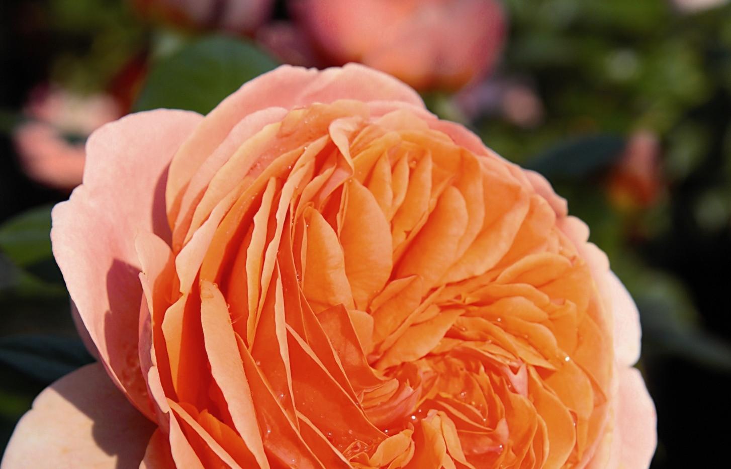 Rosa Chippendale1.jpg