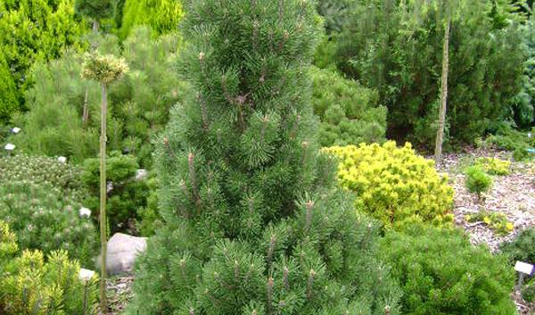 Pinus mugo Columbo_3.jpg