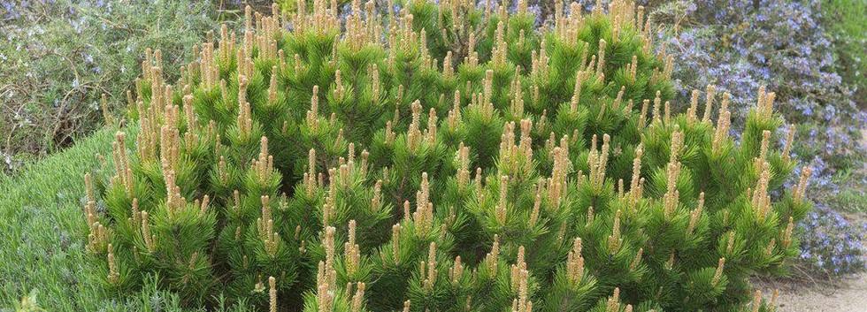 Pinus mugo Mughus_3.jpg