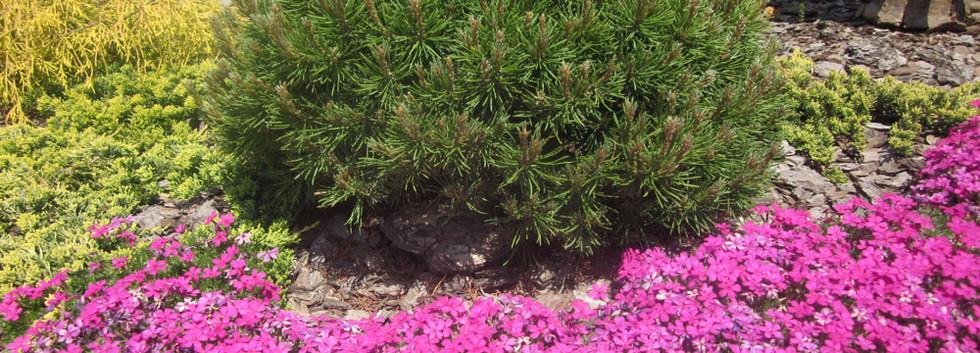 Pinus mugo Mops_5.jpg
