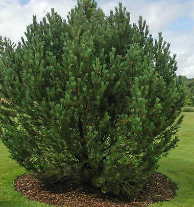 Pinus mugo Uncinata_3.jpg