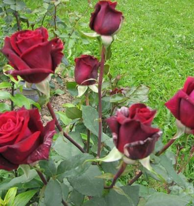 Rosa Mildred Scheel3.jpg