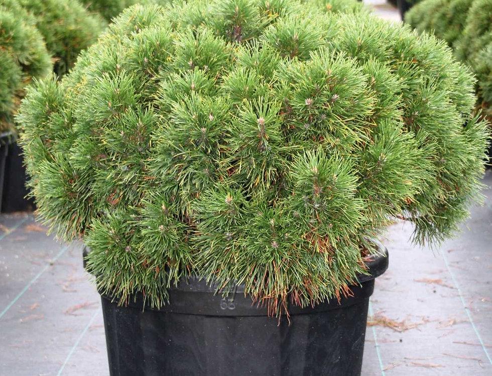 Сосна горная Варелла  (Pinus mugo) Varella.