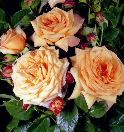 Rosa Barock1.jpg