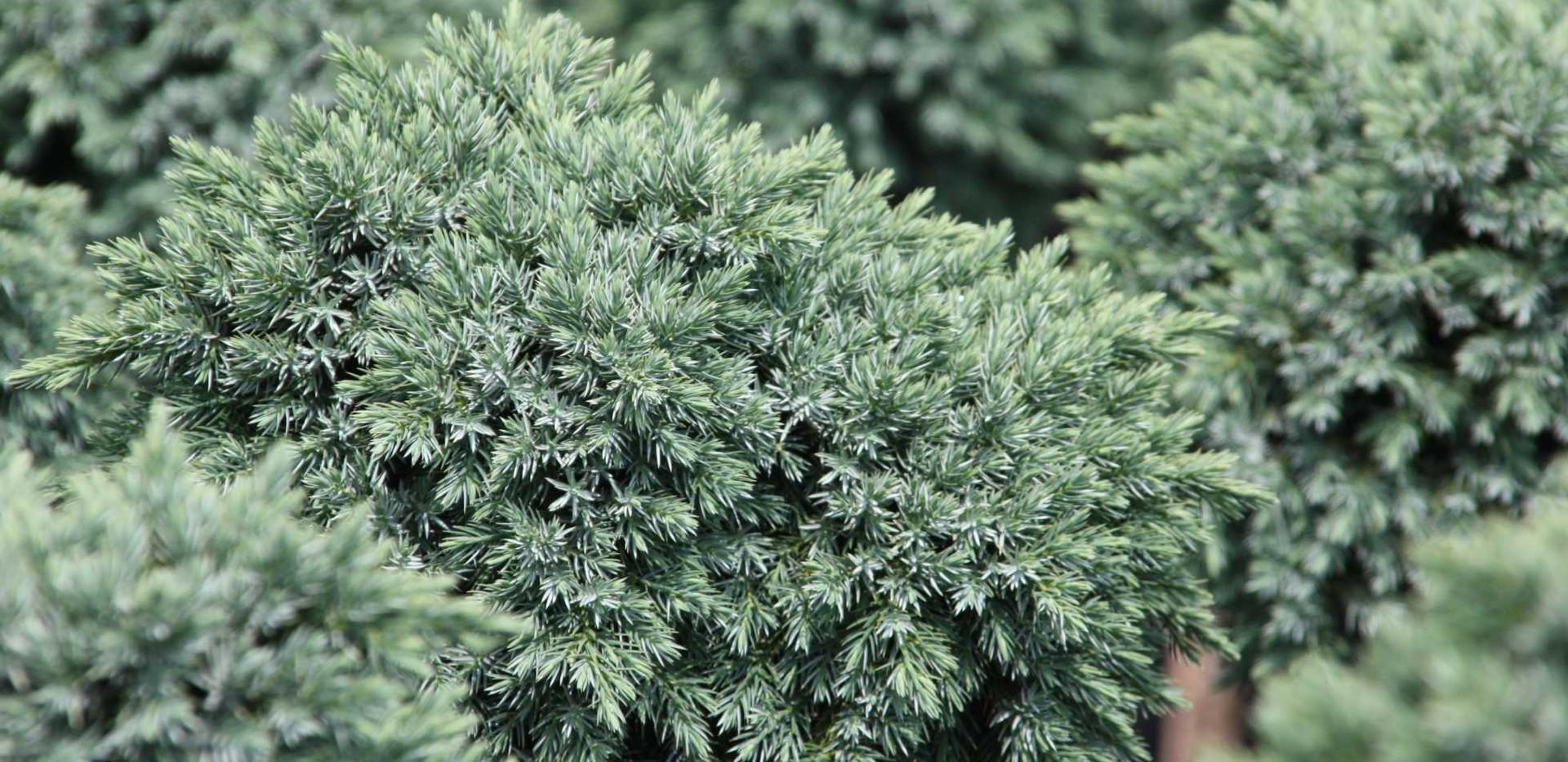Juniperus squam Blue Star_2.jpg