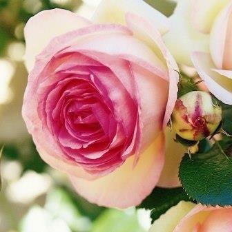 Rosa Eden Rose 85_2.jpg