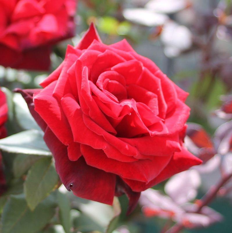 Rosa Barkarole4.jpg