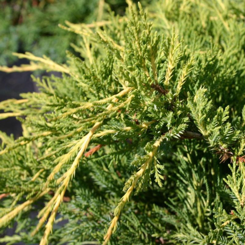 Juniperus media Pfitz. Aurea_2.jpg