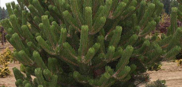 Pinus nigra Oregon Green3.jpg
