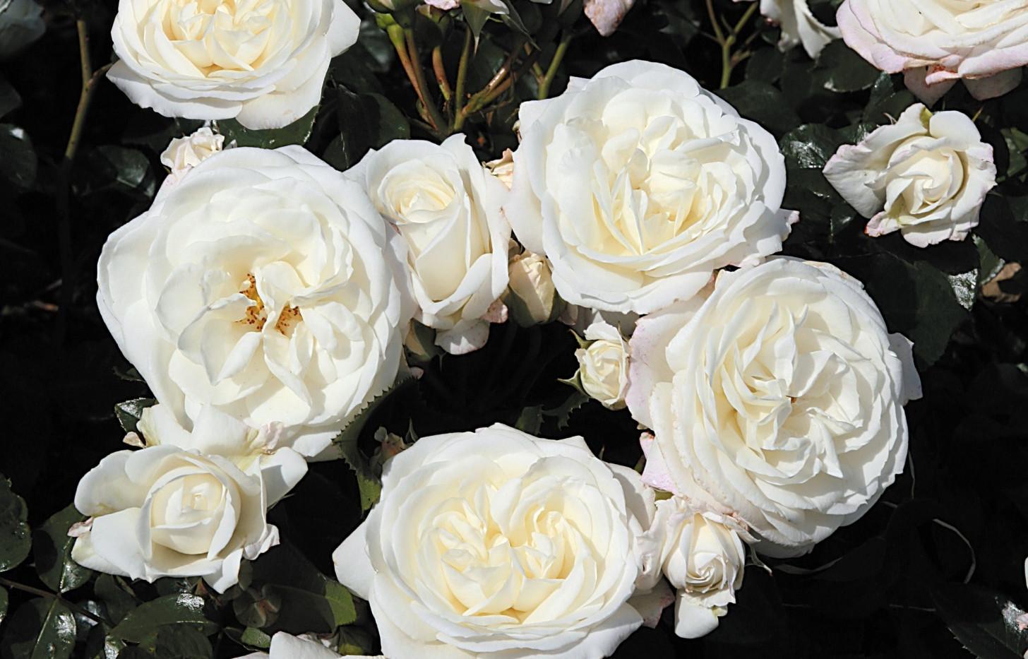 Rosa Alabaster1.jpg