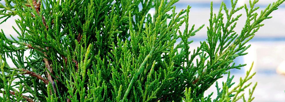 Juniperus media Mint Julep_2.JPG