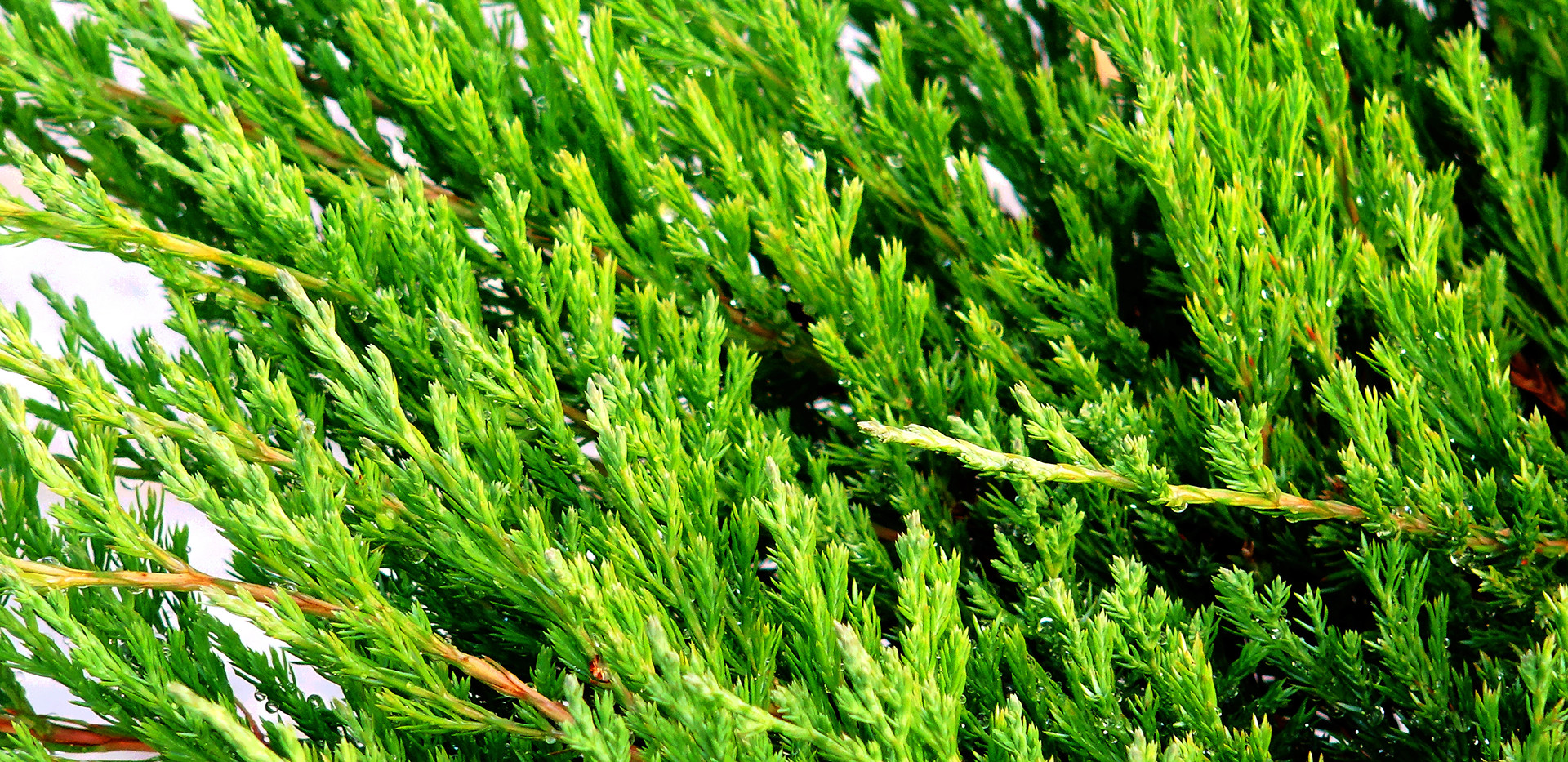 Juniperus hor Andorra Compact_2.JPG