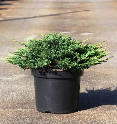 Juniperus hor Prince of Wales_1.jpg
