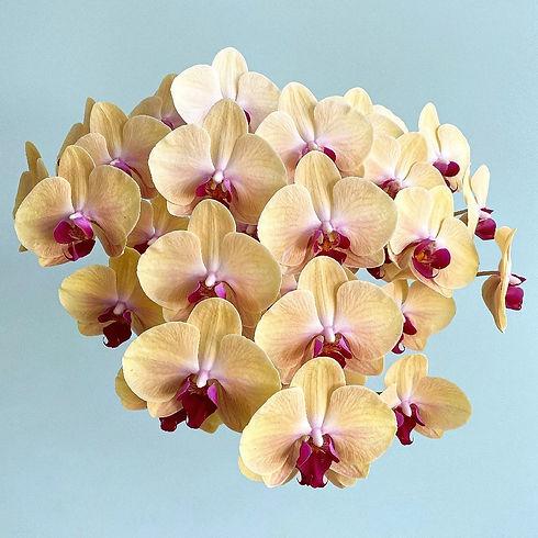 Orange Phalaenopsis orchids on blue background