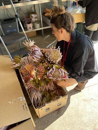 Unpacking flower shipment (Dried King Protea)