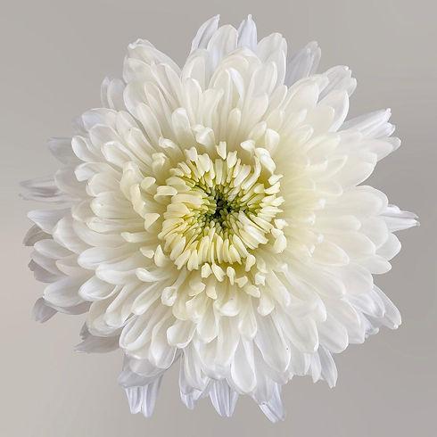 White Chrysanthemum Disbud