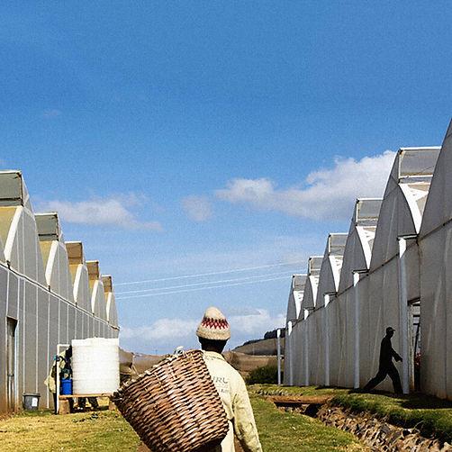 Uhuru farms Kenya