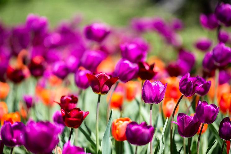 tulip mix magenta orange_647895202.jpg
