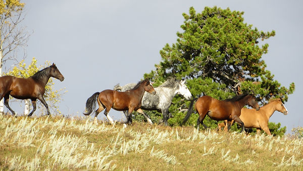 Horses enjoying life in the big herd at Liberty Stables in Millarville, Alberta. The Luaxophy Method.