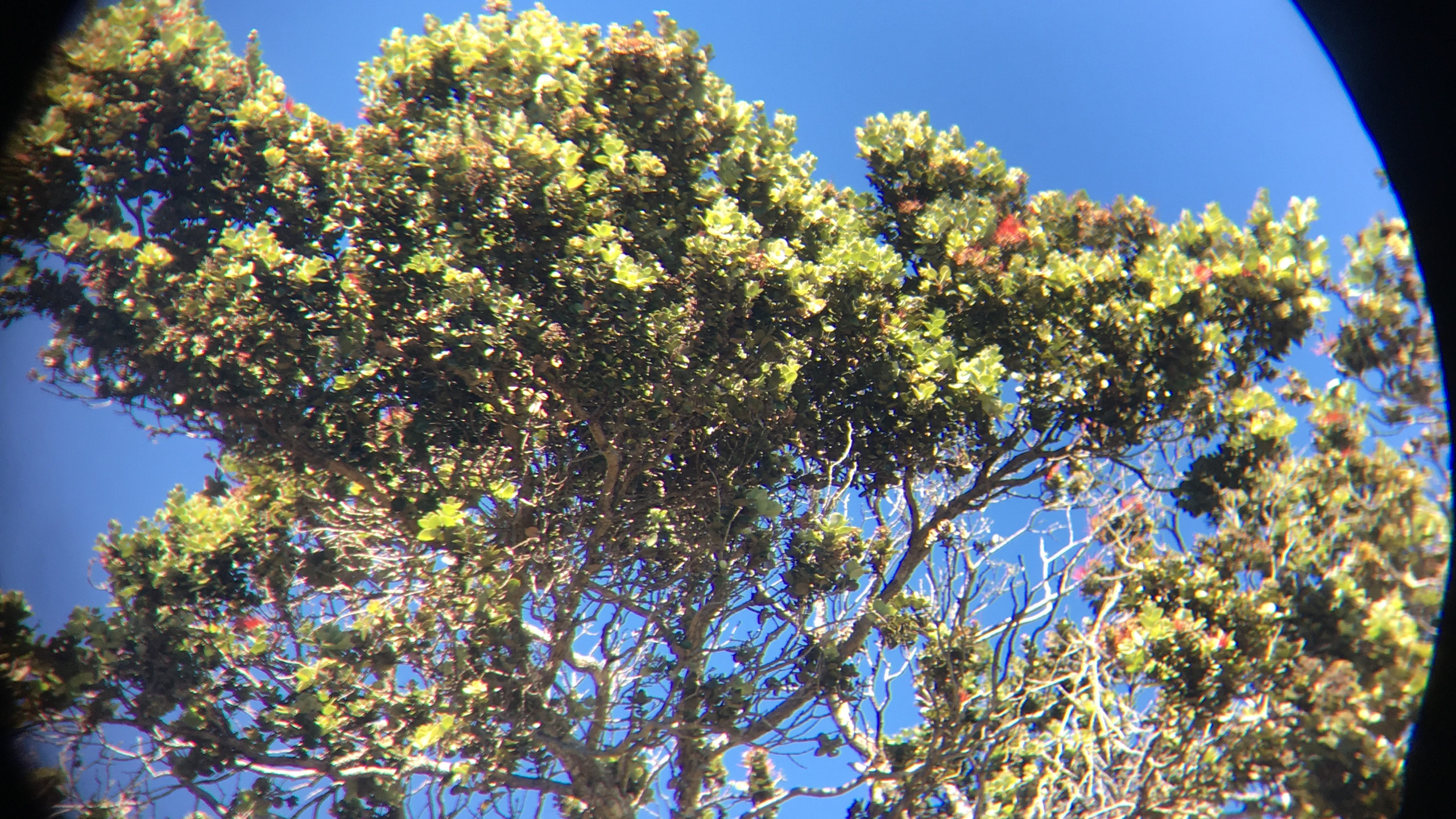 Ohia tree up close