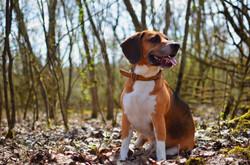 Biggie le Beagle