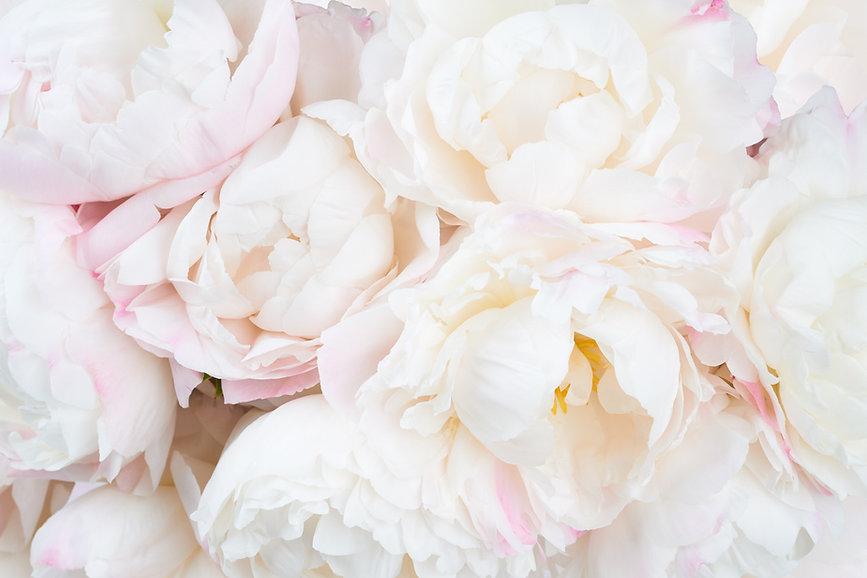 white-peonies-full-back-pinkish-tinge.jp