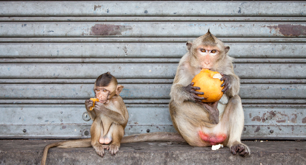 Long-tailed macaques in the city. Lopburi, Thailand.