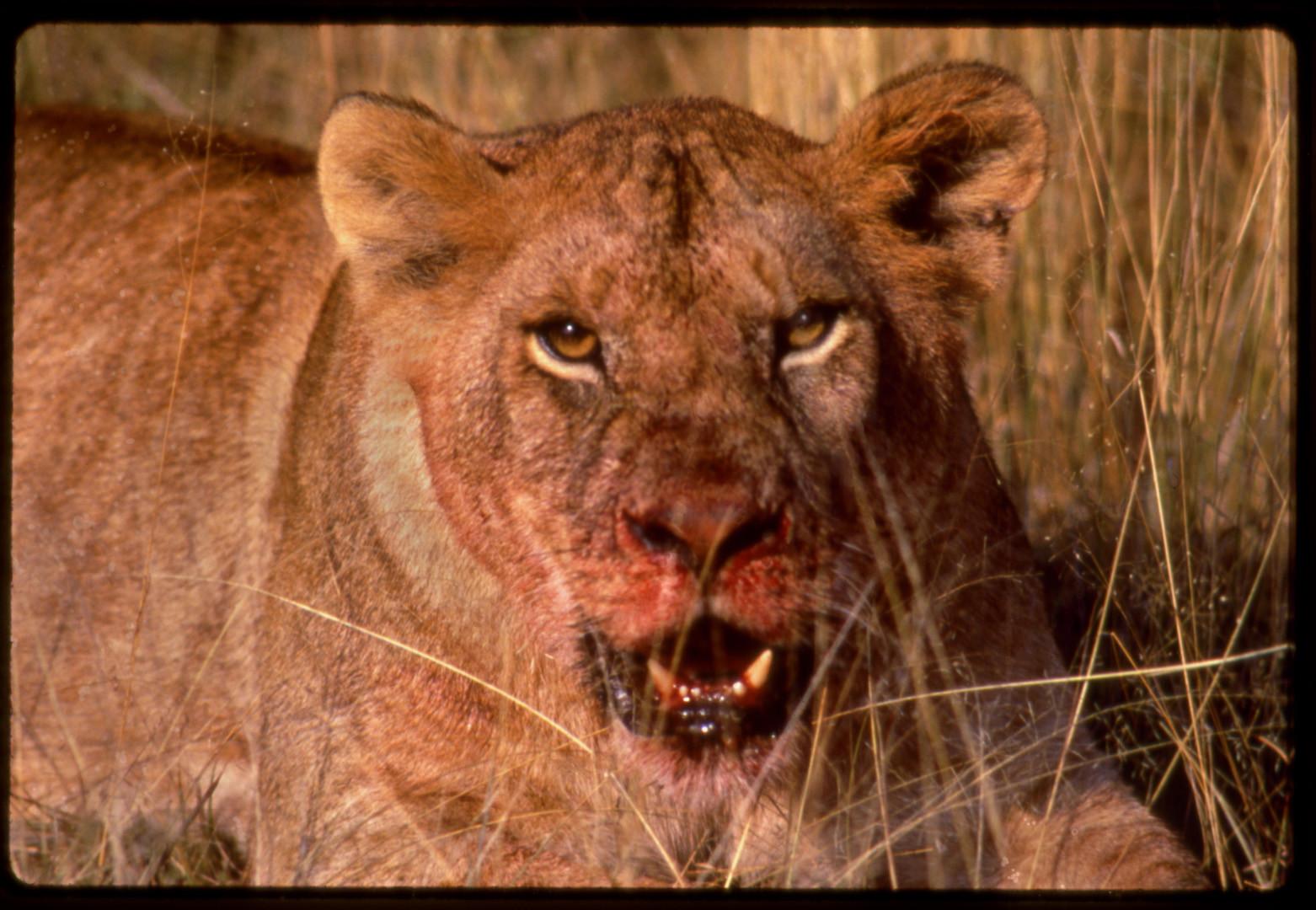 Lioness After Feed Kill, Ngoro Ngoro, Tanzania, 1989
