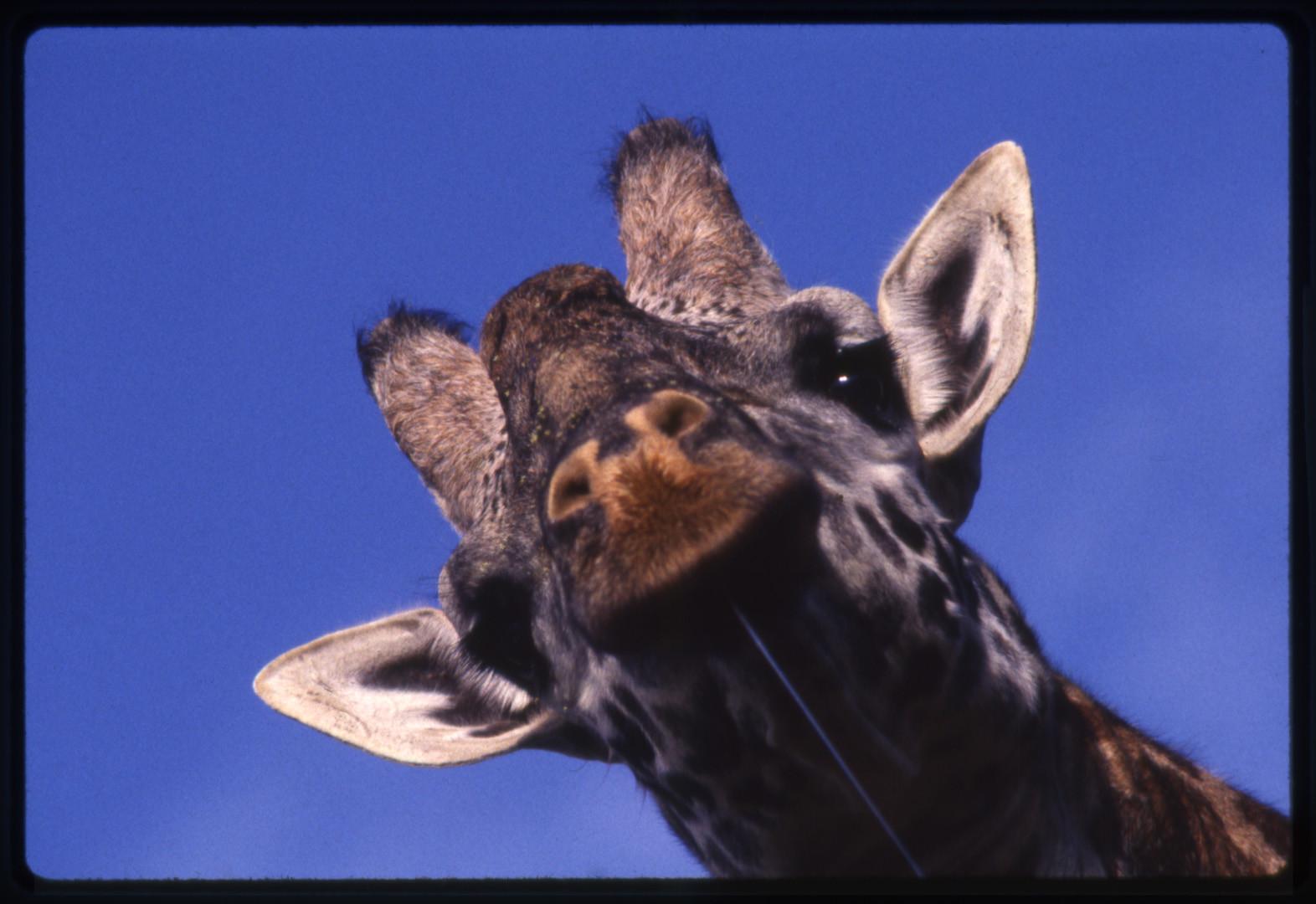 Giraffe Bull, Looking Down at Me, Nairobe, Kenya, 1989