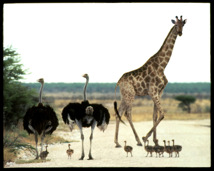Giraffe Ostrich Traffic Jam, Etosha, Namibia, 1990