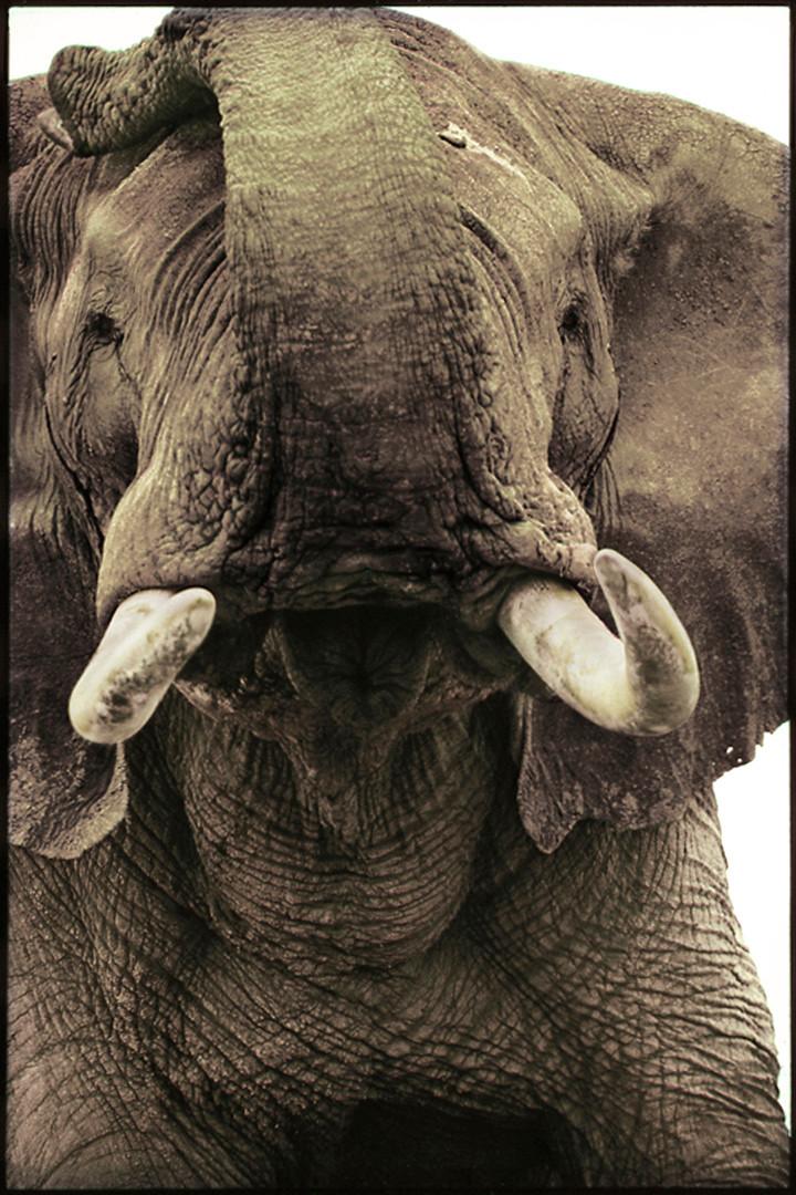 Elephant Bull, Amboseli, 1989