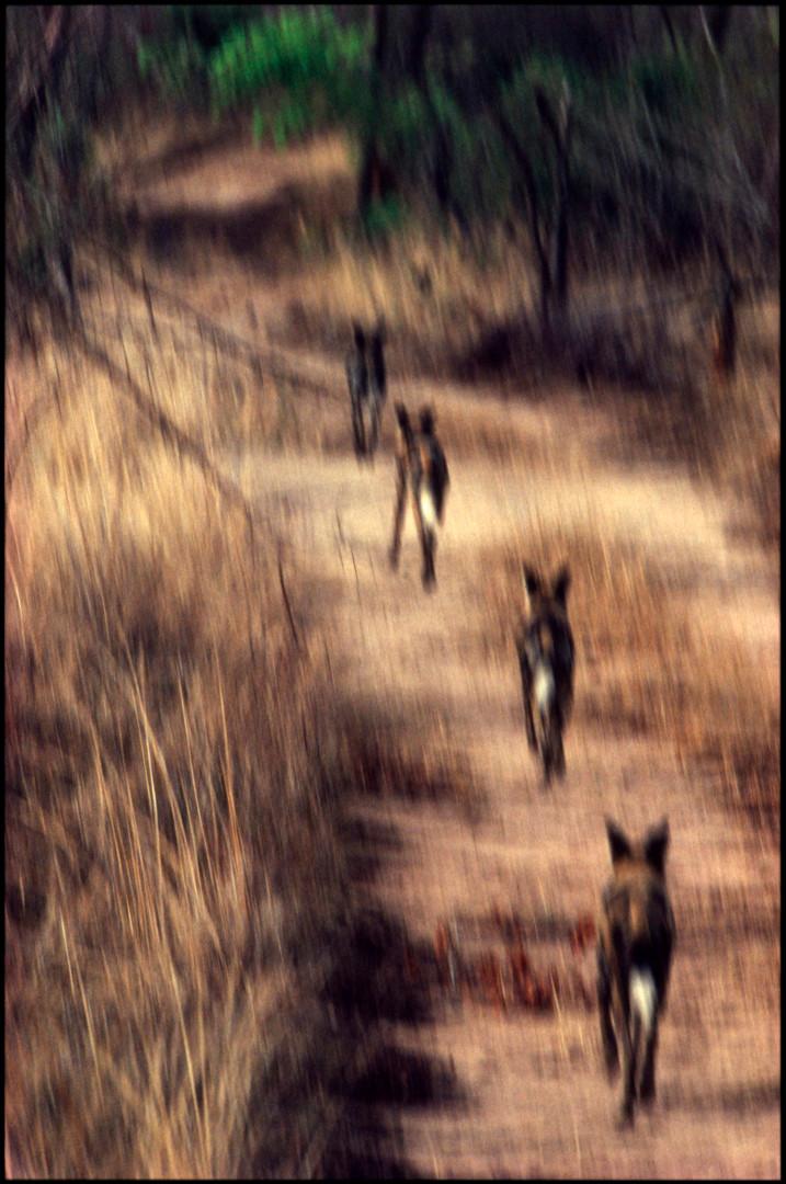 Wild Dogs, Hwange National Reserve, Zimbabwe, 1990