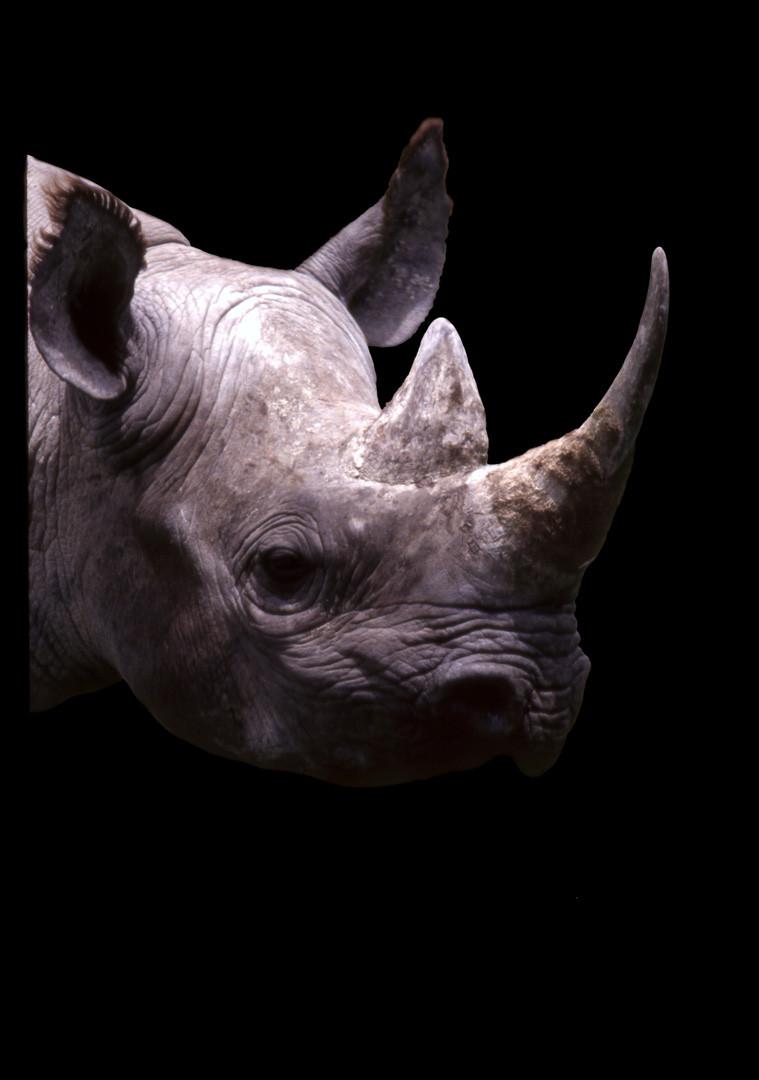 Rhino Portrait New Study on Black, 2018