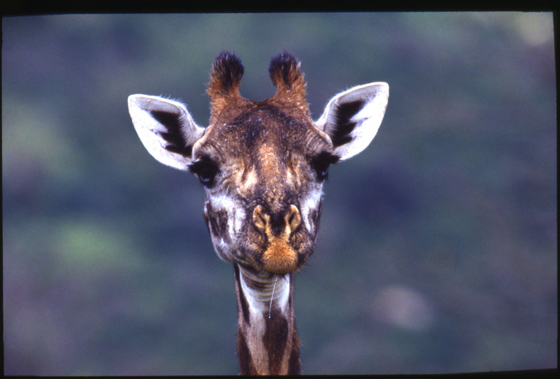 Juvenile Giraffe, Tsavo West, Kenya, 1989