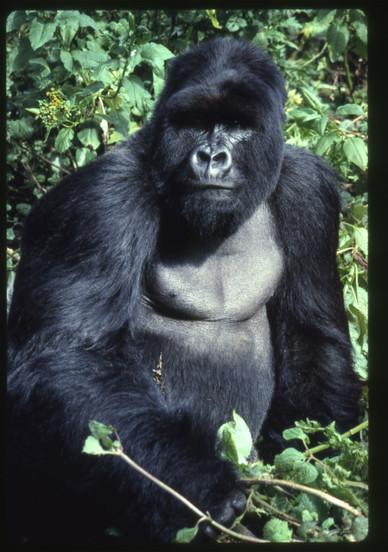 White Back Gorilla, Karasoke, 1989